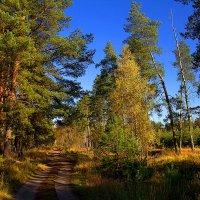 У берез и сосен тихо бродит осень :: Вячеслав Минаев