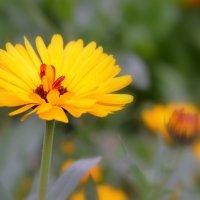 Солнечный цветок - календула :: Людмила Якимова