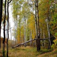 Погибшее дерево. :: Борис Митрохин