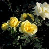 Жёлтые розы октября :: Нина Бутко