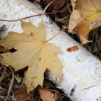 Кленовый лист :: никита кичапин