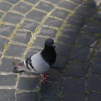 Городские птицы-4. :: Руслан Грицунь