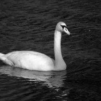 Лебеди: Качаясь на волнах :: Дмитрий Сорокин