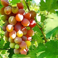 Розовый виноград :: Александр Бурилов