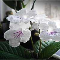 Цветы на окне. :: Любовь Чунарёва