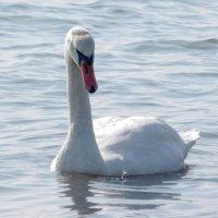 Лебедь :: Эрик Шульк