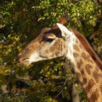 Портрет жирафы :: Александр Запылёнов