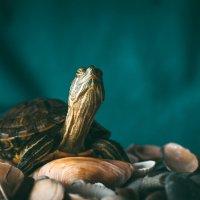 turtle :: Юрий Кулаков