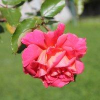 роза :: elena manas