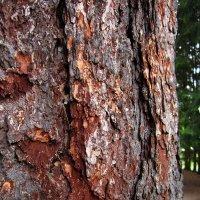 Кора старого дерева (Санкт-Петербург, Царское Село) :: Павел Зюзин