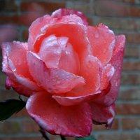 Дождь в октябре и розы... :: Тамара (st.tamara)