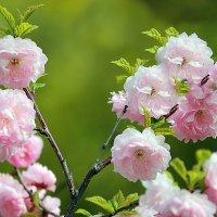 Цветущая весна :: И.В.К. ))