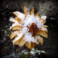 Цветы под снегом . :: Мила Бовкун