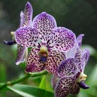 Орхидеи Шри-Ланки :: Tatiana Belyatskaya