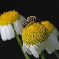 Пчелка :: Алексей Головин