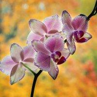 Орхидея и осень за окном :: Ирина Приходько