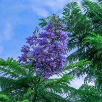 Жакаранда Мимозолистная ( Jacaranda mimosifolia ) :: Сергей Цветков
