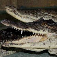 крокодилы :: elena manas