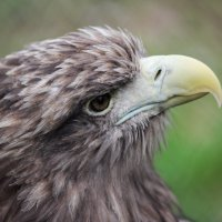 Орлан белохвост :: Андрей Вигерчук