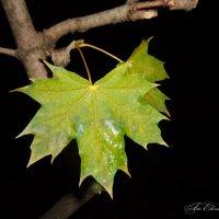 Осенние зелёные листья :: °•●Елена●•° Аникина♀