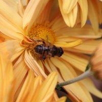 пчела :: elena manas