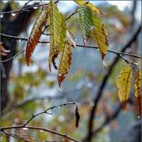Осенний дождь... :: Наталья Rosenwasser