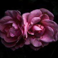Розовые розы :: Анна Щербакова