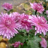 В нашем дворе расцвели хризантемы :: Нина Корешкова