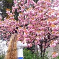 Цветение сакуры :: Алла Перькова
