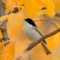 Осенние птицы. Буроголовая гаичка :: Влад