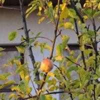 Последнее яблочко :: Вера Щукина