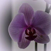 Орхидея в тумане :: Валерий Лазарев