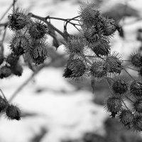 Осенний репейник :: Алексей Тырышкин