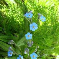 Голубоглазые цветочки. :: nadyasilyuk Вознюк