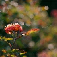 Роза на паутинке..паучок прощался. :: Алла Allasa