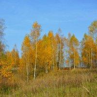 Березки осенью :: Милешкин Владимир Алексеевич