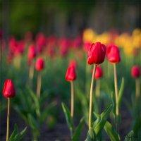 Тюльпаны на закате :: Alent Vink