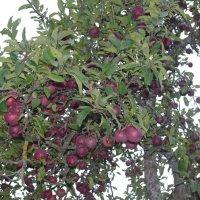 В конце октября, яблоки :: İsmail Arda arda