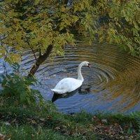 А белый лебедь на пруду :: Сергей Перфилов