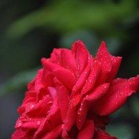 роза :: Вера Петрив
