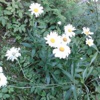 Ромашки-цветы :: Дмитрий Никитин