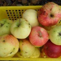 Яблочки :: BoxerMak Mak