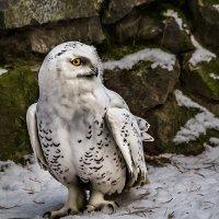 Полярная сова :: Nn semonov_nn