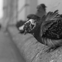Сизый голубь на холодном ветру.. :: Светлана Салахетдинова