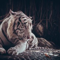 White tiger. :: Илья В.