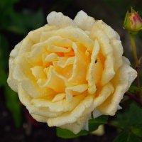 Розы в нашем саду (этюд 4) :: Константин Жирнов