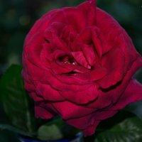 Роза :: Ольга Мореходова