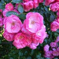 Розы в Никитском ботаническом саду. :: Наиля
