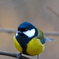 Популярная птица синица. :: cfysx