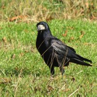 Черный ворон :: Александр Скамо